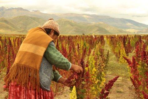 Quinoa-planta