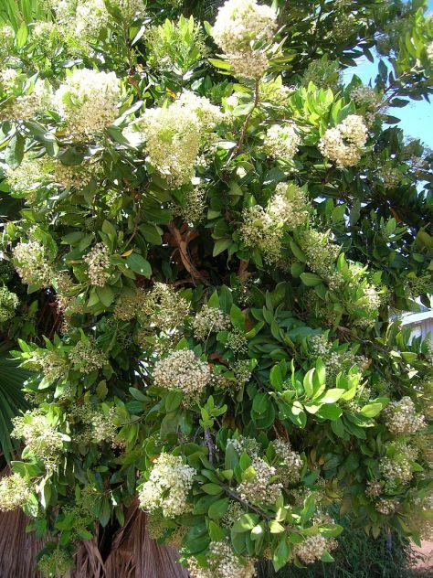 arbol-pimienta-de-jamaica-influorescencias