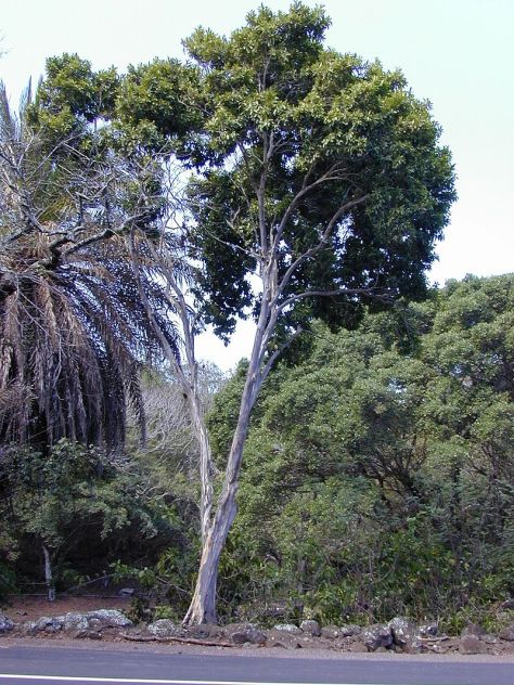 arbol-pimienta-de-jamaica