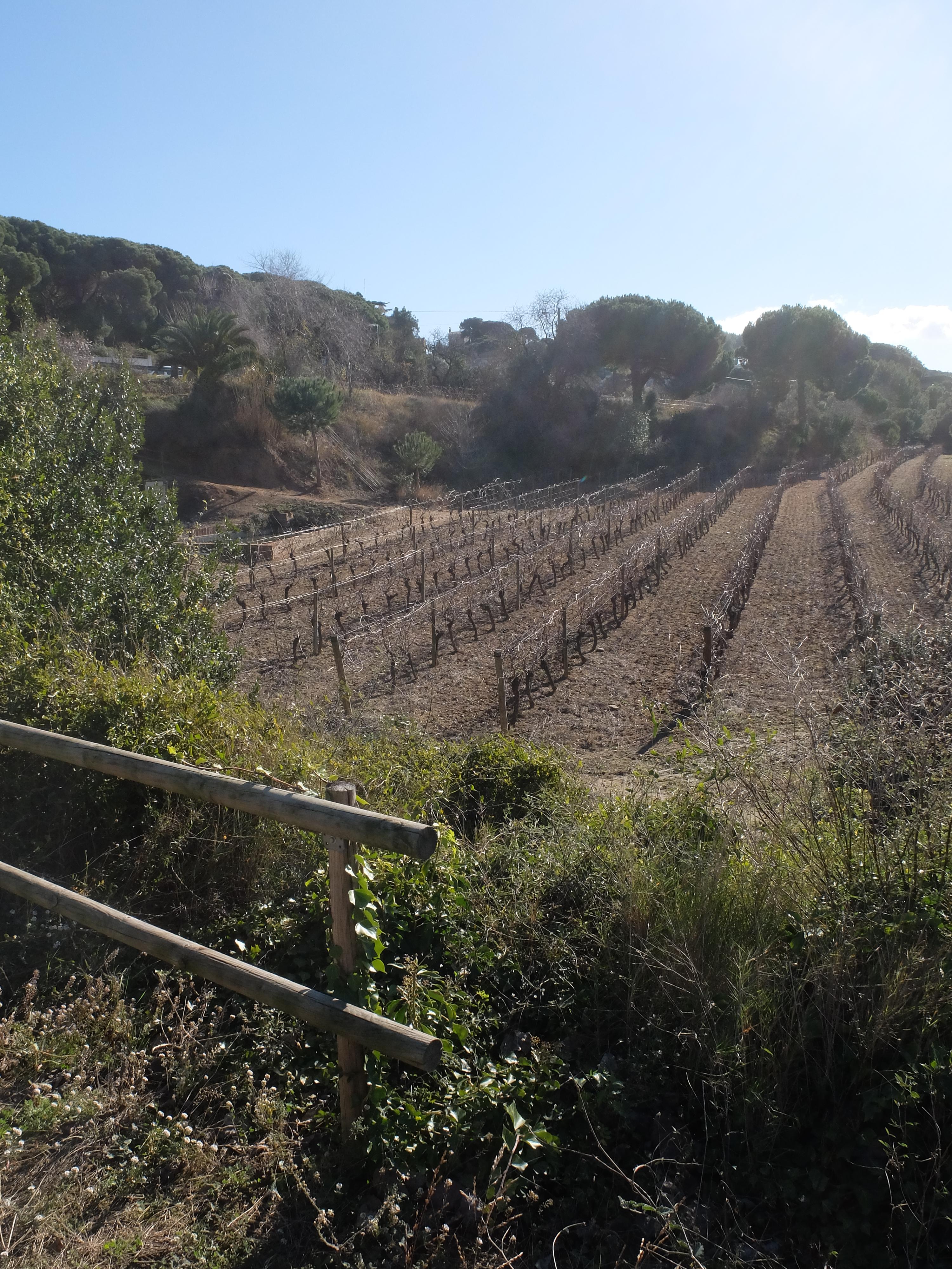 Vista de las viñas, Masia Coll - Canyet (Badalona)